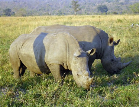 Rhinoceros_in_South_Africa (Rinocerontes)